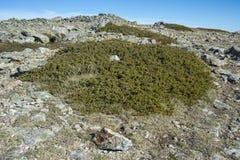 Genévrier commun, sous-espèce communis de juniperus alpina Photo libre de droits