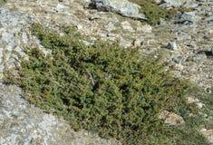 Genévrier commun, sous-espèce communis de juniperus alpina Photographie stock libre de droits