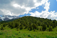 Genévrier dans les montagnes, Kirghizistan Photographie stock libre de droits