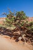 Genévrier de l'Utah en parc national de voûtes l'utah image stock