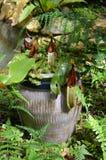 GEN d'usine de Monkeycup ; Nepenthes Photos libres de droits