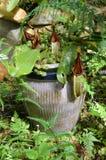 GEN d'usine de Monkeycup ; Nepenthes Photo stock