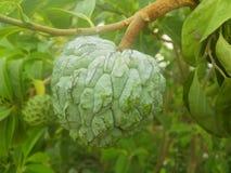 Genast exotisk och mycket söt frukt för annona, royaltyfri foto