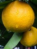 Genauere Ansicht der Orangen Stockbilder