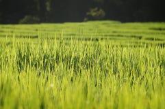 Genaueres grünes Reisfeld mit Tau morgens Lizenzfreies Stockfoto