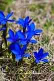 Genciana de la primavera Foto de archivo libre de regalías