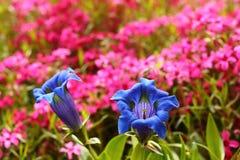 Genciana de la trompeta, flor azul del resorte en jardín Imágenes de archivo libres de regalías
