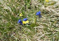 Gencianas azules, amarillas, flores Fotografía de archivo libre de regalías
