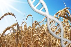 Gene editing, dna helix with wheat field. Sunny day, blue sky, symbolic stock photography