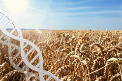 Gene editing, dna helix at wheat field. Blue sky stock photography