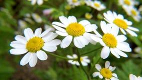 Geneeskrachtige Feverfew, haar met bloemen stock video