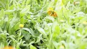Geneeskrachtige goudsbloem (Calendula) stock videobeelden