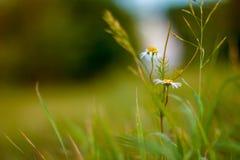 Geneeskrachtige kamillebloesem Volgende groene dille De herfst het bloeien Royalty-vrije Stock Afbeelding