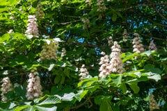 Geneeskrachtige kastanjebloemen op een boom in de lente in openlucht royalty-vrije stock foto
