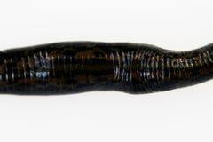 Geneeskrachtige medicinalis oosterse ondersoorten van bloedzuigerhirudo met ornament op de rug op een witte achtergrond, macro stock afbeelding