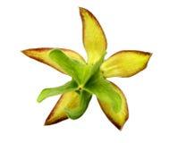 Geneeskrachtige Olatkamba-bloem Royalty-vrije Stock Afbeeldingen