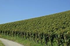 Geneigtes vinyard Stockbilder