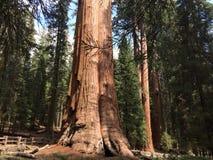 Generała Sherman drzewa baza obraz stock