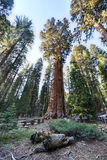 Generał Sherman Sekwoja Drzewo Obrazy Royalty Free