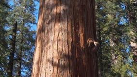 Generała Sherman Sekwoja Drzewo Plandeka widok w Kalifornia, usa zbiory
