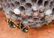 Genera Vespula and Dolichovespula, Royalty Free Stock Image