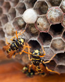 Genera Vespula and Dolichovespula Stock Photos
