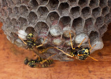 Genera Vespula and Dolichovespula Royalty Free Stock Image