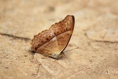 The Cruiser. Vindula erota erota butterfly. General characteristics. The wings of the lateral wing of the wing slightly pointed royalty free stock image