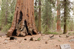 General Grant Grove Royalty Free Stock Photos