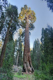 General Grant Sequoia Tree, Nationalpark König-Canyon Stockbilder