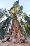 General Grant Sequoia Tree, parque nacional dos reis Garganta Fotos de Stock Royalty Free