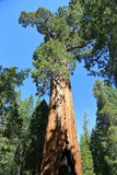 General Grant tree. The largest tree in king canyon national park, the second largest in the world Royalty Free Stock Photography