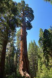 General Grant tree. The largest tree in king canyon national park, the second largest in the world Stock Images