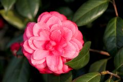 Camellia. It is a general name for many kinds of plants and horticultural varieties of Camellia, camellia and Camellia. Petals is bowl shaped, divided into Stock Image