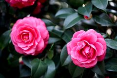 Camellia. It is a general name for many kinds of plants and horticultural varieties of Camellia, camellia and Camellia. Petals is bowl shaped, divided into Royalty Free Stock Photo