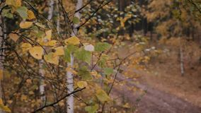 General plan. Trees. Buzulukskiy Bor. Forest. Medium static shot. the camera is not moving. The focus changes from background to front stock video footage