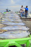 General Santos, Philippines - September 5, 2015: Tuna are being. Loaded onto truck to the factory Royalty Free Stock Photography