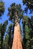 General Sherman (albero) Fotografia Stock Libera da Diritti