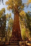 General Sherman Giant Sequoia i sequoianationalpark Arkivfoton