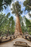 General Sherman Giant Sequoia. Tree (sequoiadendron giganteum) is the largest tree on the Earth, Sequoia National Park, California, USA royalty free stock photography