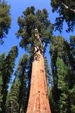 General Sherman (árvore) Foto de Stock Royalty Free