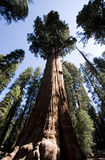 General Sherman Sequoia Árvore Imagem de Stock Royalty Free