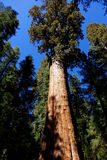 General Sherman - Sequoia N.P., California Royalty Free Stock Images
