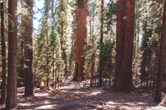 General Sherman in Sequoia National Park, California, USA Royalty Free Stock Images