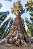 General Sherman Sequoia Tree Fotografering för Bildbyråer
