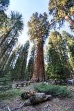 General Sherman Sequoia Tree Imágenes de archivo libres de regalías