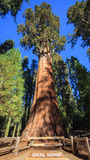General Sherman Tree Arkivbilder
