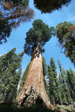 General Sherman tree in Giant Forest of Sequoia National Park Stock Photos