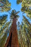General Sherman Tree - the largest tree on Earth, Giant Sequoia Trees in Sequoia National Park, California, USA stock image