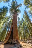 General Sherman Tree - the largest tree on Earth, Giant Sequoia Trees in Sequoia National Park, California, USA stock photo